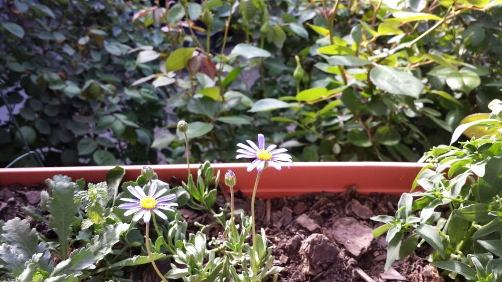 potted-daisies